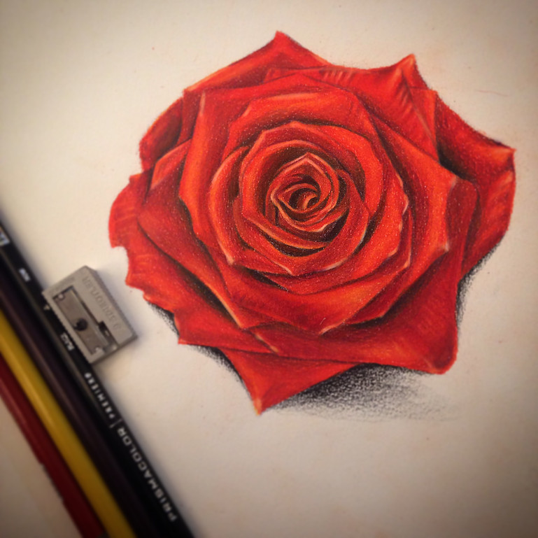 Drawing colored pencil rose